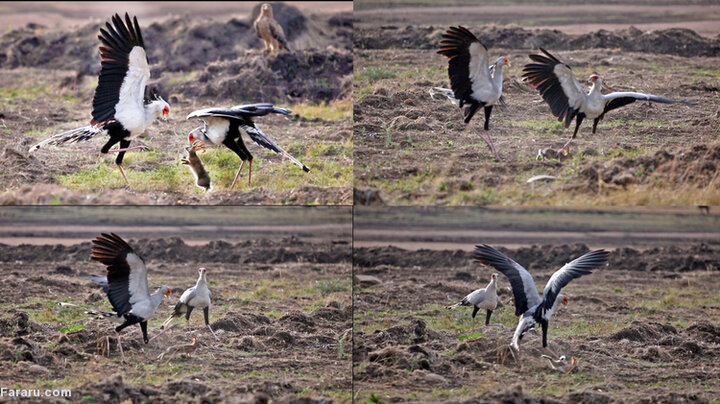 لحظه شکار شدن خرگوش توسط پرنده / فیلم