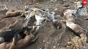 آتش زدن ۱۵ قلاده سگ در شاهدشهر!