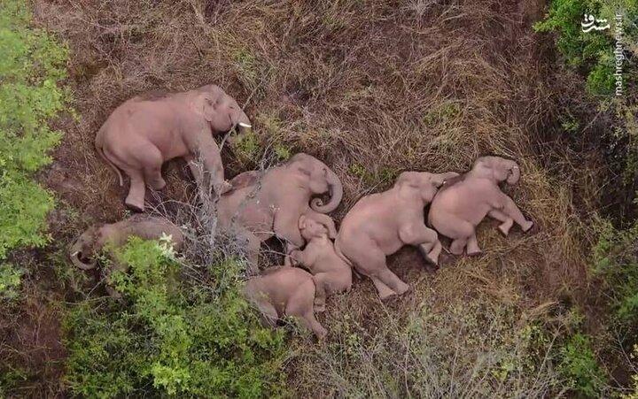 خوابیدن دست جمعی فیلها در کنار هم / فیلم