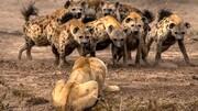 نبرد خونین بین کفتارها و شیرها / فیلم