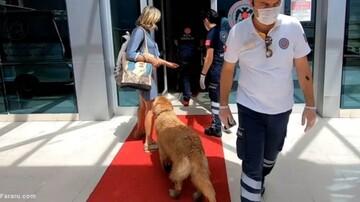 سگ وفاداری که تا بیمارستان دنبال آمبولانس صاحبش دوید / فیلم