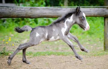 میکرو دیو، کوچکترین اسب مینیاتوری جهان / عکس