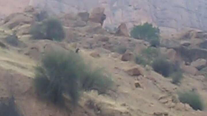 مشاهده یک قلاده خرس قهوهای در روستای اسلامآباد / فیلم