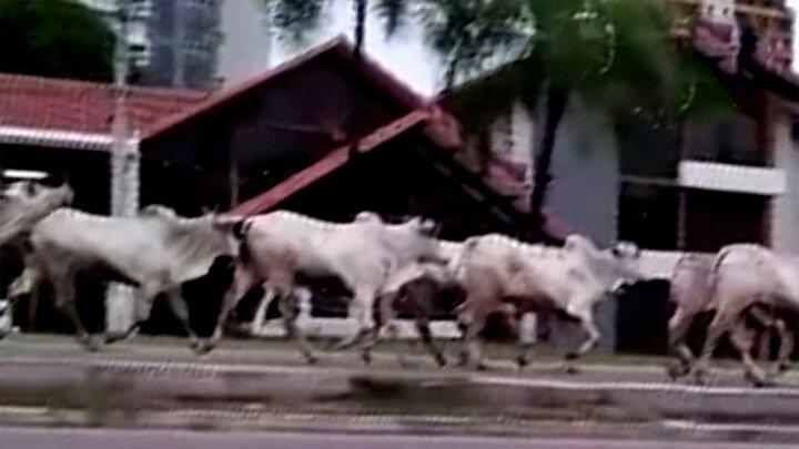 هجوم گاوهای وحشی به مردم در سطح شهر / فیلم