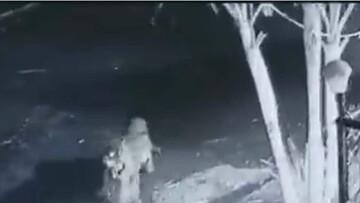 ویدیو دوربین مداربسته از حمله غافلگیرانه پلنگ به سگ خانگی / فیلم