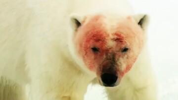 شکار گراز دریایی توسط خرس قطبی / فیلم