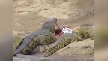 یک گورخر طعمه حمله دسته جمعی کروکودیلها شد / فیلم