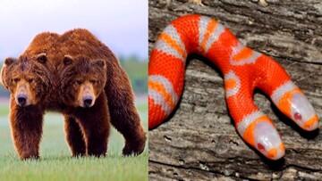 ویدیو جالب و تماشایی از حیوانات دو سر، پدیدهای نادر در حیات وحش