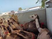 سر و کله شتران قطری در گمرک ایران پیدا شد! / عکس