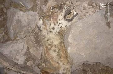 تصویر دلخراش از مرگ پلنگ ایران در آتشسوزی کوه حاتم / عکس