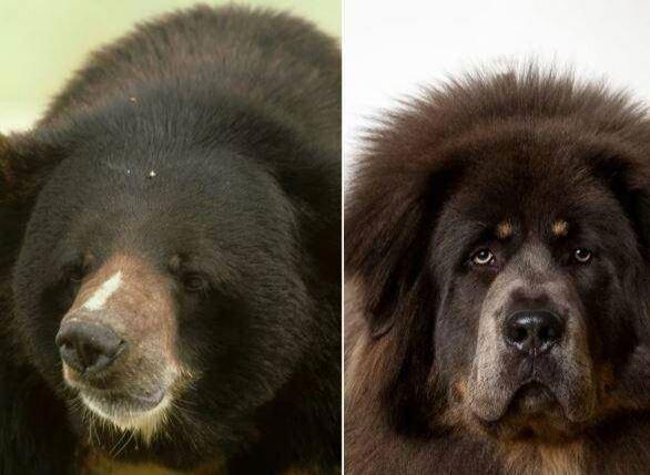 سگ خانگی دختر جوان تبدیل به خرس شد! / عکس