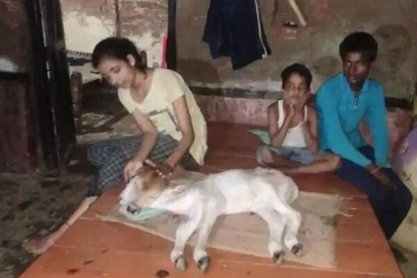 تولد گوساله دو سر با چهار چشم در هند,گوساله