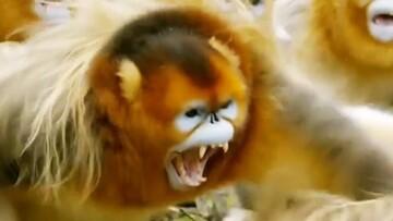 جدال عجیب میمونها برای جفتیابی / فیلم