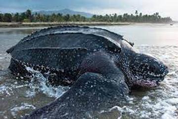لحظه نجات بزرگترین گونه لاکپشت دریایی از باتلاق / فیلم