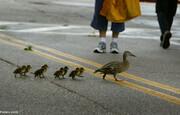 قدم زدن جالب اردک مادر و جوجههایش در خیابان/ فیلم
