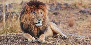 مرگ «صورت زخمی»، پادشاه حیوانات و معروفترین شیر جهان در سن ۱۴ سالگی / تصاویر
