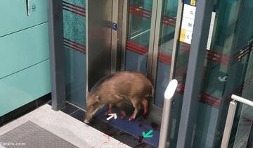 ورود عجیب بچه گراز بامزه به داخل مترو! / فیلم