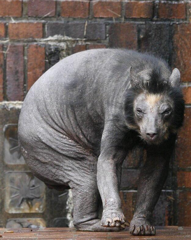 عجیب ترین خرس جهان که با دیدن آن تعجب خواهید کرد / عکس