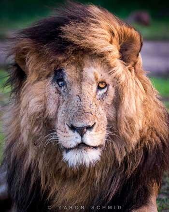 مرگ «صورت زخمی»، مشهورترین شیر جهان
