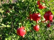 خوردن انار برای این افراد سم است؛ از خانم های باردار تا افراد مبتلا به زخم معده