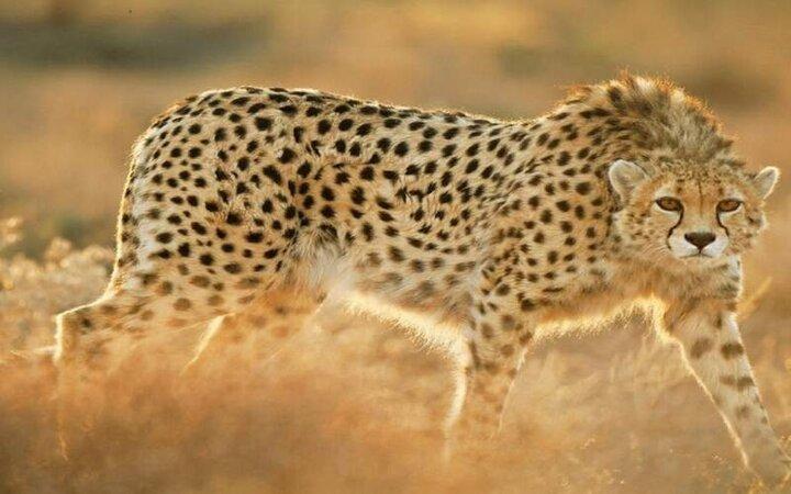 نمایی خونین از پوزه یوزپلنگ پس از خوردن شکار / عکس