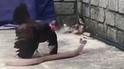 دفاع جانانه مرغ مادر از جوجههایش در مقابل مار کبرا / فیلم