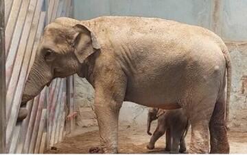 حال «بچه فیل» ارم و ماده «گورخر آفریقایی» صفادشت چگونه است؟