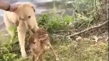 نجات جان بچه گوزن در دریاچه توسط سگ مهربان / فیلم