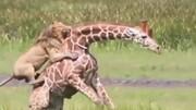 ویدیویی دردناک از تلاش زرافه برای رهایی از چنگال شیر نر / فیلم