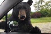 لحظه ورود عجیب خرس به خودروهای مردم / فیلم