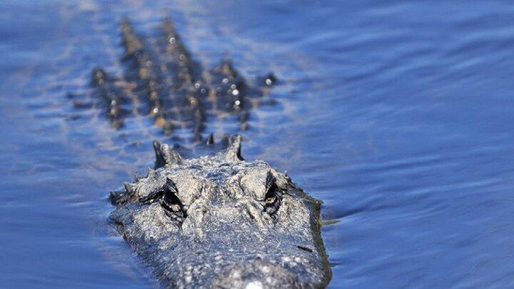 تصویر وحشتناک از حمله هولناک تمساح عظیم الجثه به سر یک غواص