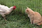 ویدیو خنده دار از واکنش گربه به حرکات عجیب یک خروس