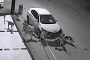 تخریب ماشین لاکچری با هجوم گله سگهای عصبانی / فیلم