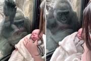 واکنش احساسی و دیدنی یک گوریل به نوزاد انسان / فیلم