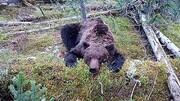 زنده زنده خورده شدن نوجوان ۱۶ساله توسط خرس قهوهای / فیلم
