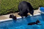 آبتنی خرس مادر با تولههایش در استخر یک ویلا! / فیلم