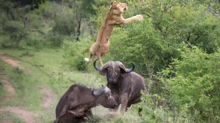صحنه دلخراش حمله بیرحمانه گله شیرها به بوفالو / فیلم