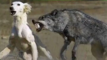حمله وحشیانه گرگها به سگ نگهبان / فیلم