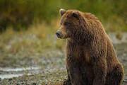 حضور خرس قهوهای کنار کوهنوردان در دامنه سبلان / فیلم