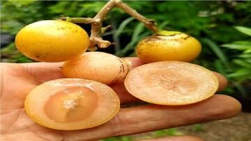 خواص شگفت انگیز میوه سپستان برای بدن؛ از درمان میگرن و نقرس تا مقابله با سرطان