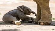 زایمان یک فیل در باغ وحش ارم تهران / تصاویر