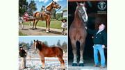 مرگ بلندقدترین اسب جهان در بیست سالگی / عکس