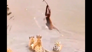 حرکت خطرناک میمون گرسنه مقابل چشم چند ببر / فیلم