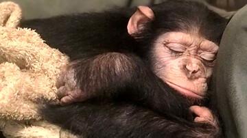 انتقال باران؛ شامپانزه باغ وحش ارم به کنیا / فیلم