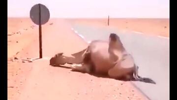 آب دادن به شتر در حال مرگ در گرمای ۶۰ درجه صحرا / فیلم