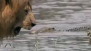 دفاع جانانه شیر شجاع از خانواده در برابر کروکدیل / فیلم