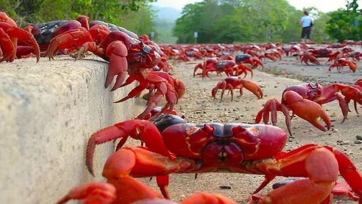 نگهداری خرچنگ از فرزندانش در درون بدنش / فیلم