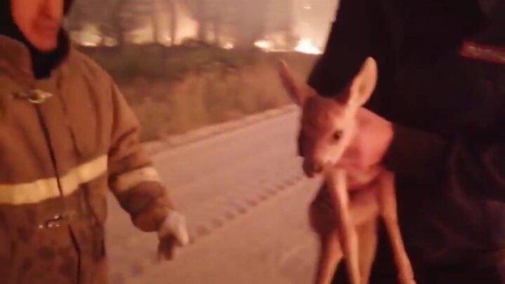 نجات بچه آهو از میان شعلههای آتش / فیلم