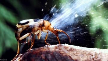 این سوسک هنگام دفاع از خود اسید تولید میکند / فیلم