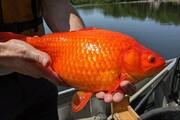 هشدار جدی درباره ماهیهای خانگی  / فیلم